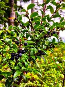 Huckleberries on the Trail © Liesl Clark